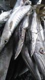 Baracuda de poissons Photo stock