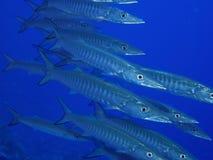 Baracuda i det röda havet Arkivbilder