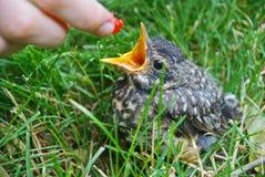 Barak ` n Robin: baby Robin die een framboos worden gevoed Stock Afbeelding