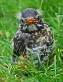 Barak`n Robin: close-up of baby robin with white tufts of hair Royalty Free Stock Images