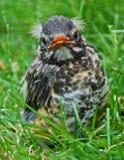 Barak ` n Robin: close-up van baby Robin met witte bosjes van haar Royalty-vrije Stock Afbeeldingen