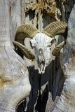 Baran czaszka Zdjęcia Royalty Free