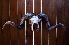 Baran czaszka Zdjęcia Stock