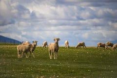 Baran i cakle na zieleniejemy pole w Caledon, Zachodni przylądek, Południowa Afryka zdjęcie stock
