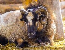 Baran wielkie rogi owce fotografia stock