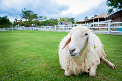 Baranek na trawie Zdjęcia Stock