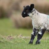 Baranek z czarną twarzą w trawy polu w wiośnie, UK Obrazy Stock