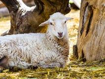 Baranek Zwierzęta gospodarskie jagnięcy Zwierzęcy baranek Zwierzęcego gospodarstwa rolnego baranek whit Zdjęcia Royalty Free