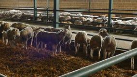 Barani łasowania siano w sheepfold zdjęcie wideo