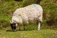 Barani pasanie na moorland trawie zdjęcia royalty free