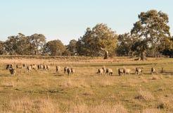 Barani pasanie w Australia zdjęcia stock