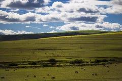 Barani pasanie w magestic zieleni polach w Caledon, Zachodni przylądek, Południowa Afryka obraz royalty free