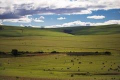 Barani pasanie w magestic zieleni polach w Caledon, Zachodni przylądek, Południowa Afryka obrazy stock
