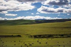 Barani pasanie w magestic zieleni polach w Caledon, Zachodni przylądek, Południowa Afryka zdjęcie stock