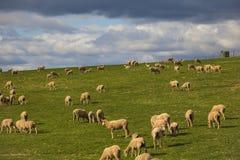 Barani pasanie w magestic zieleni polach w Caledon, Zachodni przylądek, Południowa Afryka fotografia royalty free