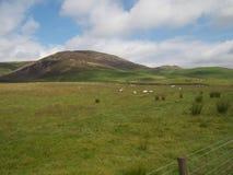 Barani pasanie w polu w Szkocja Obraz Royalty Free