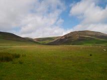 Barani pasanie w polu w Szkocja Fotografia Royalty Free