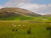 Barani pasanie w polu w Szkocja Zdjęcie Stock