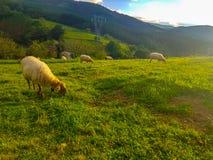 Barani pasanie w polu z innymi caklami w kierdlu Cakle Beltza gatunki, typowi północny Hiszpania zdjęcia stock