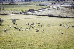 Barani pasanie w wsi Obrazy Royalty Free