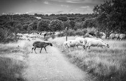 Barani pasanie w wsi i borowinowej drodze Obrazy Stock
