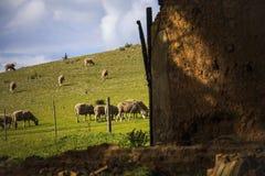 Barani pasanie w zieleni polach z ruiną w przedpolu - Napier, Zachodni przylądek, Południowa Afryka obraz stock