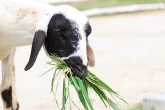 Barania łasowanie trawa Fotografia Stock