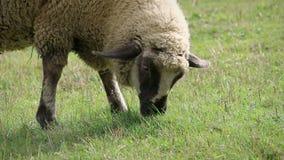 Barania łasowanie trawa w łące, widok od strony, szczegół zdjęcie wideo