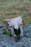 Barania czaszka Obrazy Stock