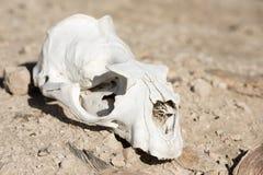 Barania czaszka i kości na ziemi Obrazy Royalty Free
