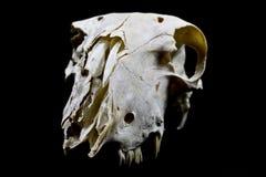 Barania czaszka Na Czarnym tle Zdjęcia Royalty Free