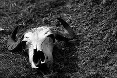 Barania czaszka na zboczu w czarny i biały Zdjęcie Royalty Free