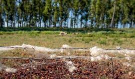 Barania wełna na gazie i drucie kolczastym ogrodzenie Fotografia Stock