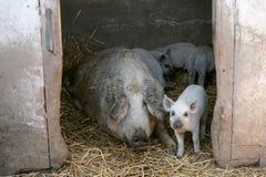 Barania świnia Obraz Stock
