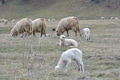 Baraniego i jagnięcego łasowania zielona trawa Fotografia Stock