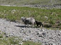 Baraniego i jagnięcego bieg puszka skalista ścieżka Obraz Stock
