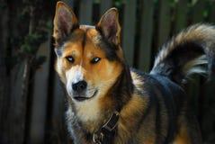 Baraniego psa husky kundel Zdjęcie Royalty Free