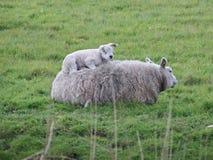 Baranki właśnie urodzeni na łąkach w Zuidplas i Waddinxveen Obraz Stock