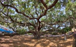 Baranoff dąb w Zbawczym schronieniu Floryda zdjęcie stock