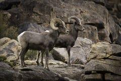Baranu i Ewe bighorn cakli para w Joshua drzewa parku narodowym fotografia royalty free