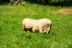 Barany z rogami je trawy na haliźnie fotografia royalty free