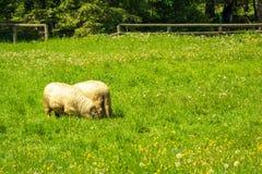 Barany z rogami je trawy na haliźnie obraz royalty free