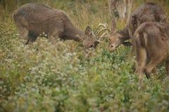 Barasinga deers som slåss på grässlätten av Kaziranga i Assam Royaltyfri Foto