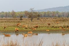 Barasingha鹿小组在印度 免版税图库摄影