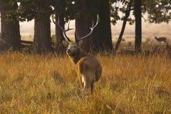 Barasingha, Cervus duvauceli branderi, Kanha park narodowy, Madhya Pradesh, India zdjęcie stock