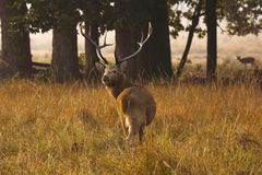 Barasingha, Cervus-duvaucelibranderi, het Nationale Park van Kanha, Madhya Pradesh, India stock foto