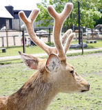 Barasingha deer Stock Images