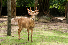 Barasingha or Deer in open zoo Royalty Free Stock Image