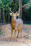 Barasingha (duvauceli do Cervus), igualmente chamado cervos do pântano, graciosos Fotografia de Stock Royalty Free