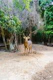 Barasingha (duvauceli do Cervus), igualmente chamado cervos do pântano, graciosos Fotos de Stock Royalty Free